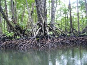 Sabang mangroves