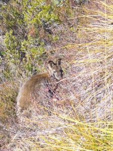 A wild Wallaby