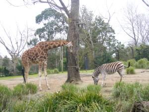 Giraffe meets Zebra